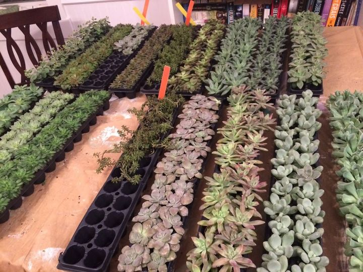 succulents and air plant propagation