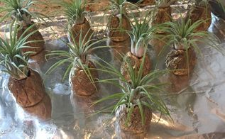air plant pineapples, 10 air plant pineapples