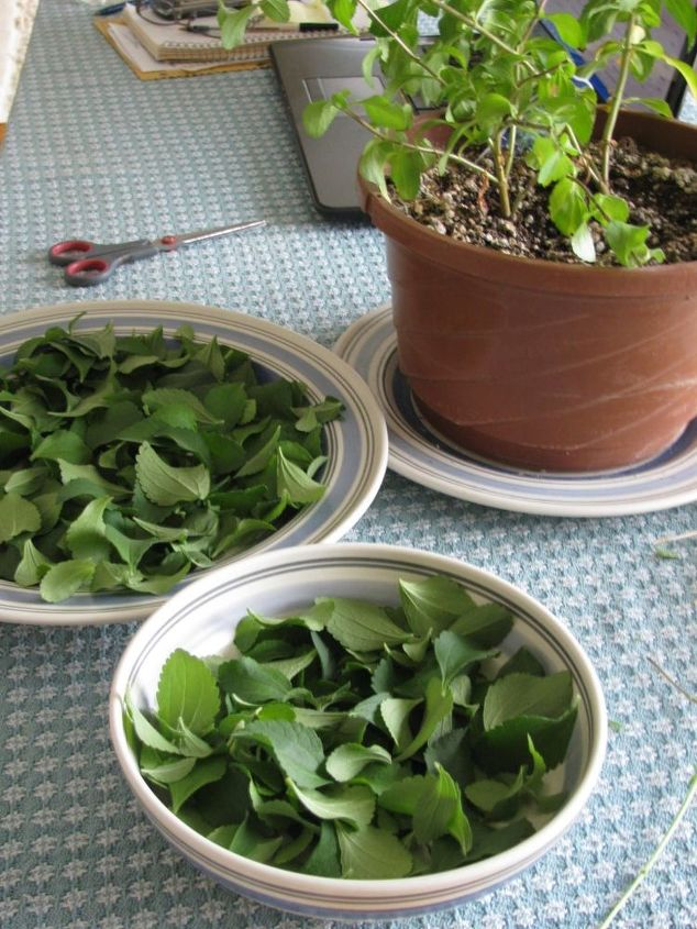 Growing Stevia How To Plant Grow And Harvest Stevia: Grow And Use Stevia Plants In Place Of Sugar