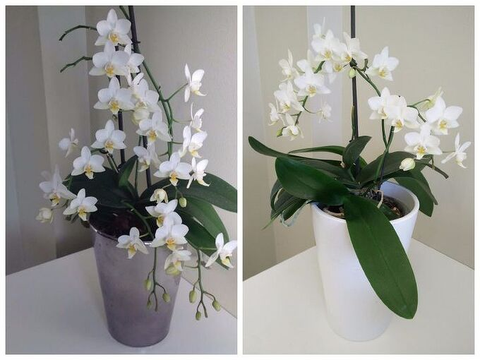 how to re bloom your orchids