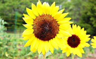 spring gardening tips, Sunflower