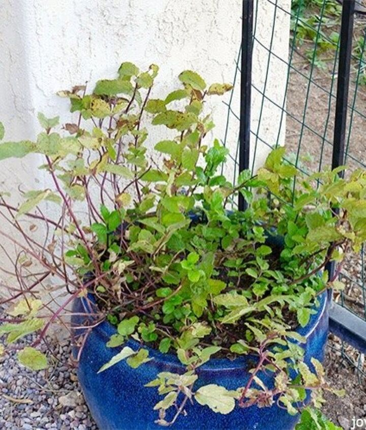 how to prune feed mint in pots to promote growth