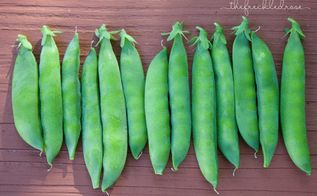 the ultimate guide to growing peas