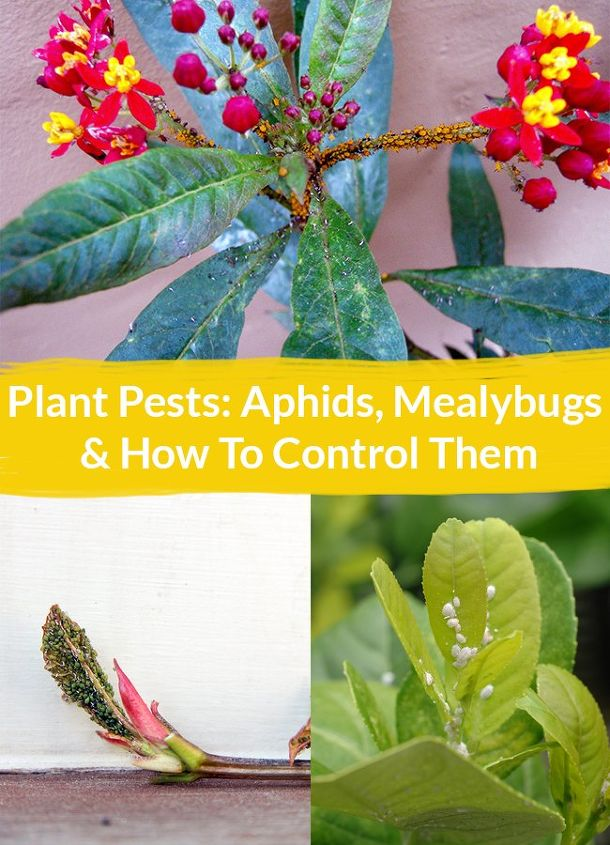 plant pests aphids mealybugs how to control them