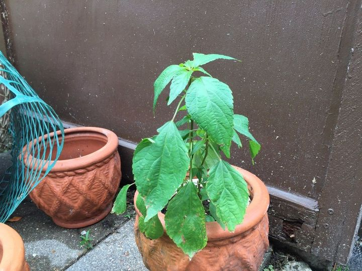 q is this a weed or pepper plant