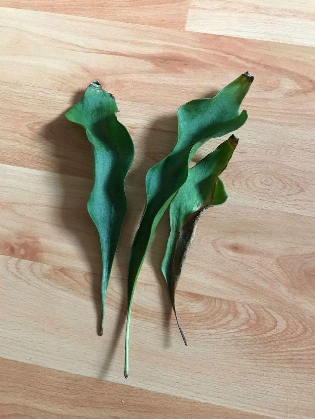 q staghorn fern losing leaves