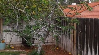 , Back yard by one of 3 fig trees