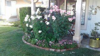 , Low maintenance and pretty These roses face due west hot hot hot in summer