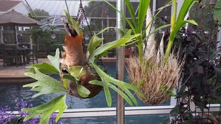, Left Staghorn Fern Right Cigar Orchid