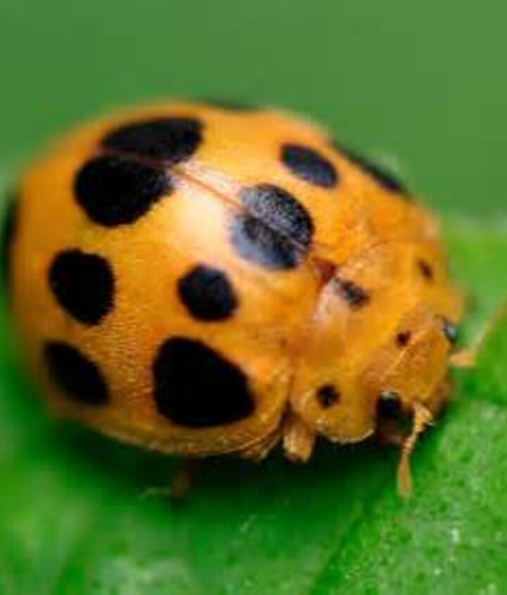 q how do you get rid of the meican bean beetles