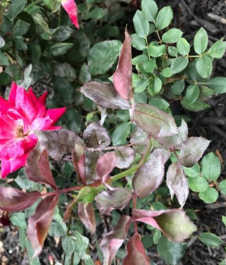 q my knockout roses have developed powdery mildew how do i treat this