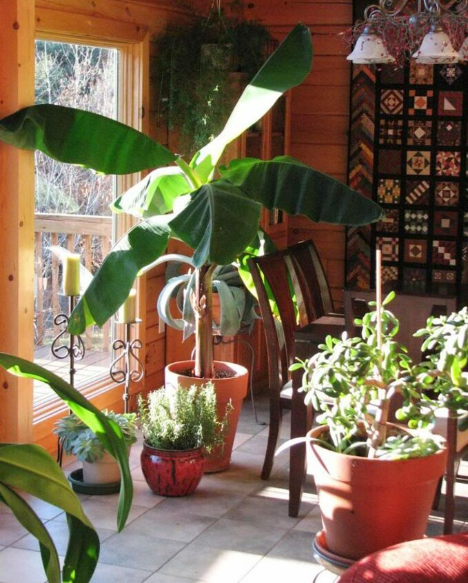 t how to grow banana trees in pots