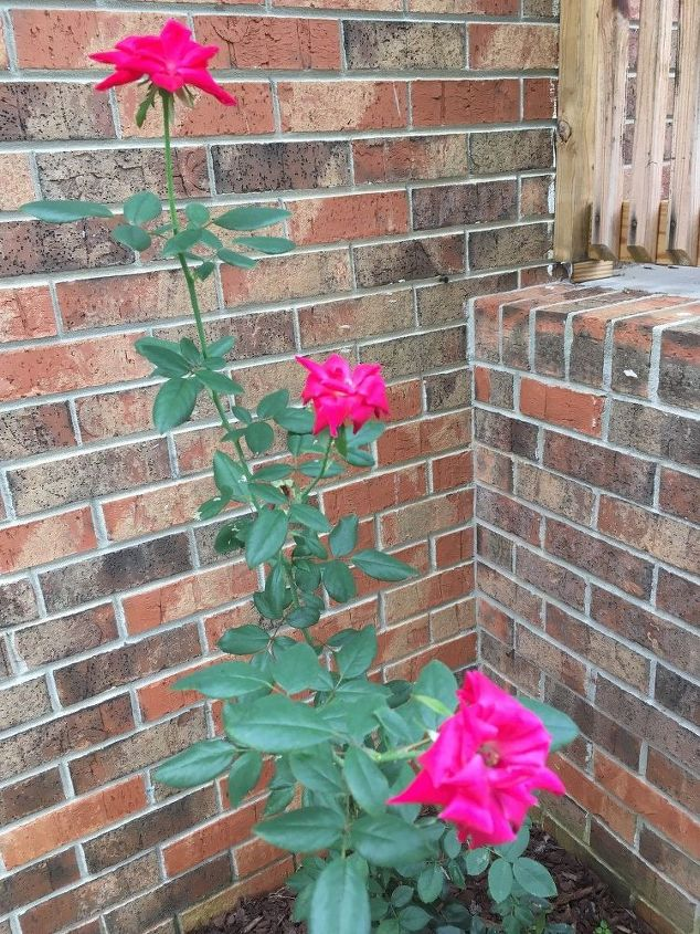 q how should i be trimming managing the rose bush my daughter gave me