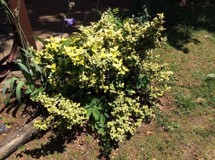 q transplanting bushes
