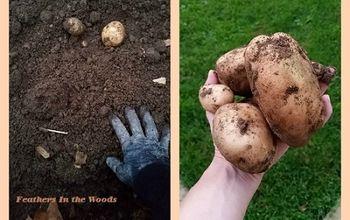 The Easiest Way to Grow Potatoes
