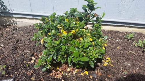 My gardenia was full of blooms and now the leaves are turning yellow my gardenia was full of blooms and now the leaves are turning yellow hometalk mightylinksfo