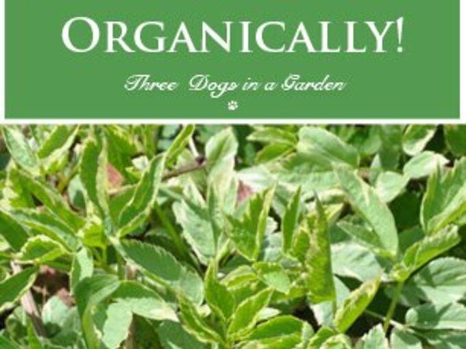 how i eliminated goutweed in my front garden