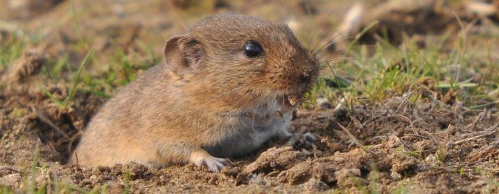 q how to prepare a patio foundation to keep voles from digging under