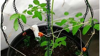 , Plant cage is from Scroll Trellis It s very strong and big and works great