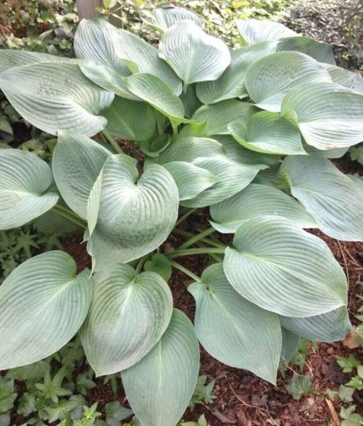 s see how 30 clever gardeners make their hostas thrive, If They re A Beginner They Choose A Hosta