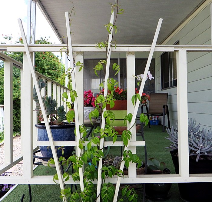 q is there a way to stunt a fast growing vine
