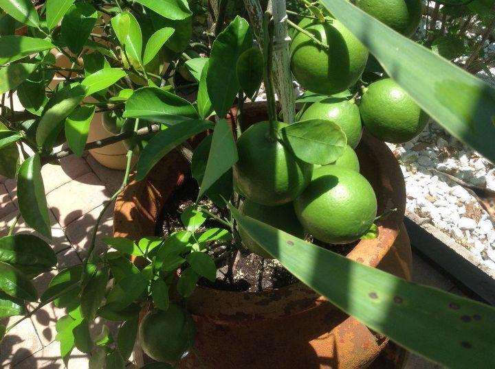 q lemon tree