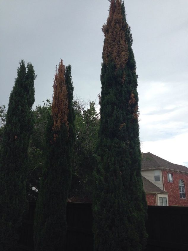 q what is killing all the italian cypress trees in the metroplex