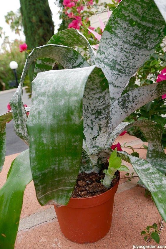 propagating bromeliads how to remove pot up bromeliad pups