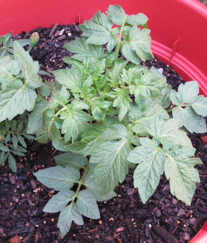 s the easiest ways to grow a bumper crop of tomatoes, If planting in pots put the hose in the soil