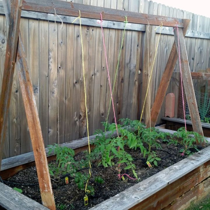 s the easiest ways to grow a bumper crop of tomatoes, Use rope to stabilize the plants