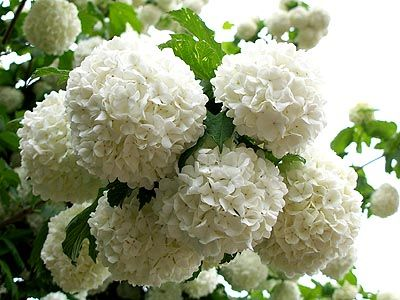 What is an alternative to hydrangea hometalk how about snowball verbinum mightylinksfo