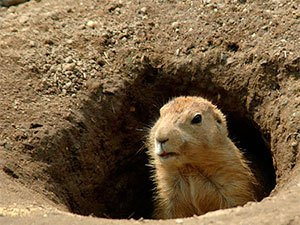 q how to stop woodchuck from eating your garden veggies