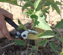why you need to prune tomatoes and peppers and how to do it, Pruning makes all the difference