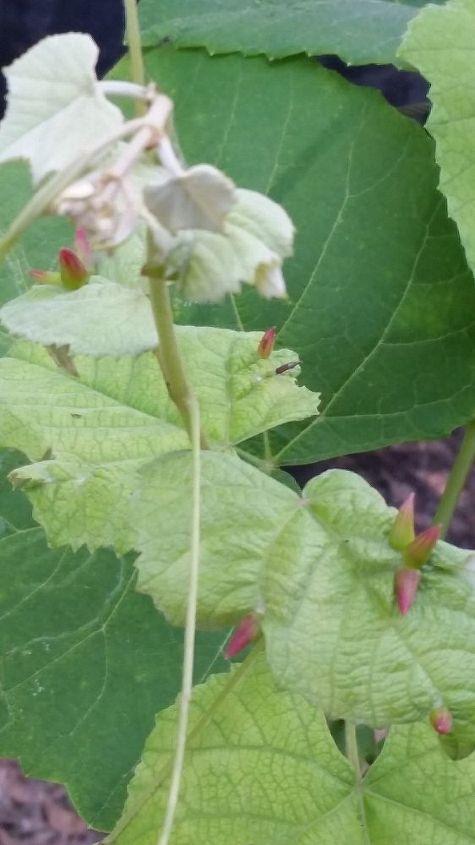 q grapes
