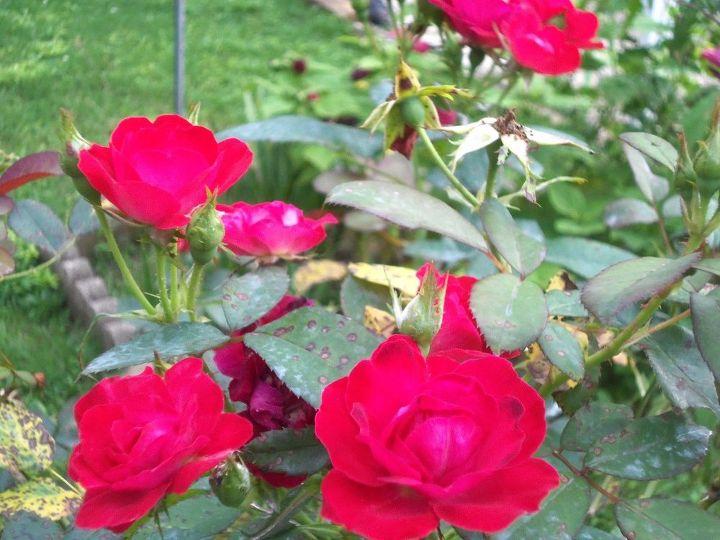 q i am a novice at growing roses i need advice