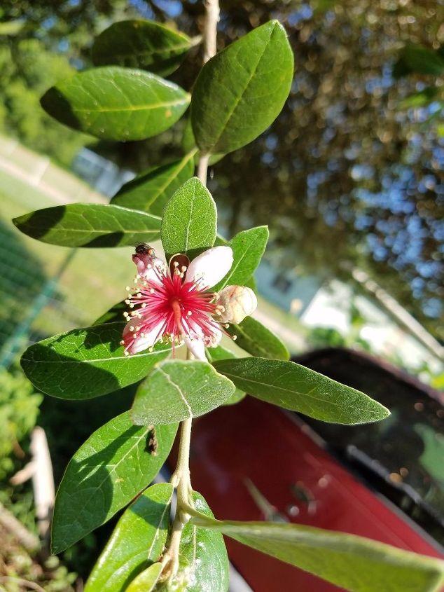q is this a walnut tree