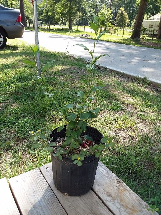 q does a confederate rose plant have to be planted in the ground