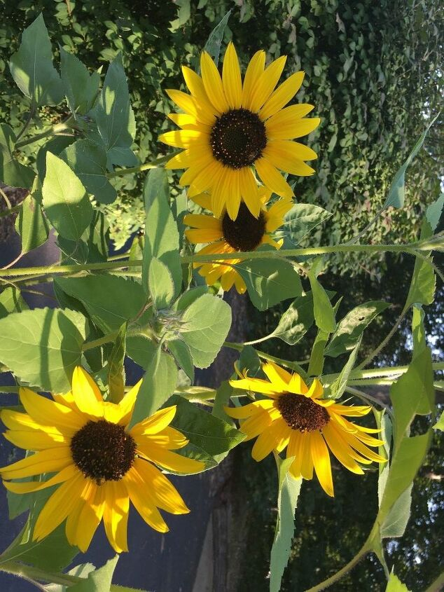 e throwback thursday i found out that sunflowers can be any color