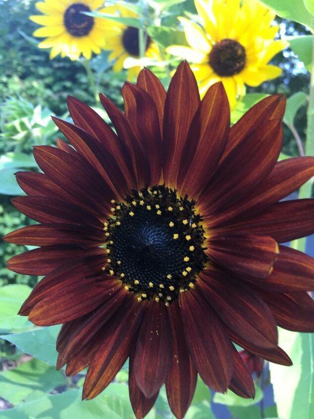 e sunflower sharing