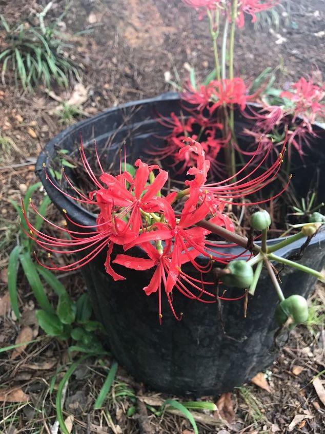 q help identifying flower