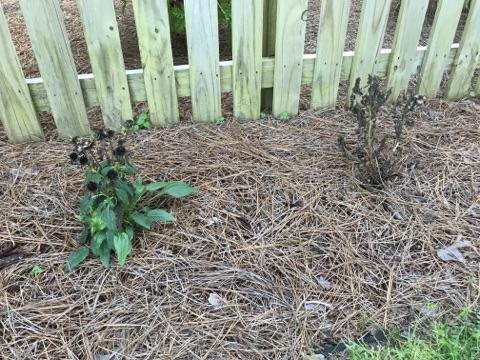 q bee balm plant is black and dying other plants near by are thriving