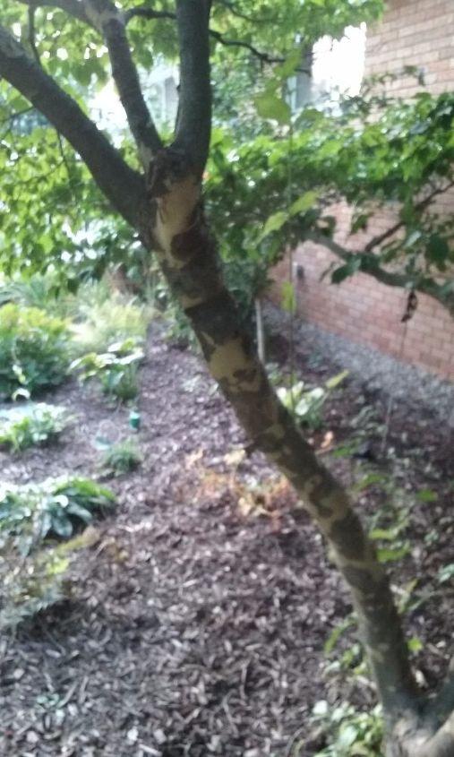 Why Is The Bark Peeling Off My Kousa Dogwood Hometalk