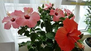 I Bought Hibiscus Plants From Walmart Yesterday Are They Perrenials
