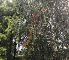 q holly tree