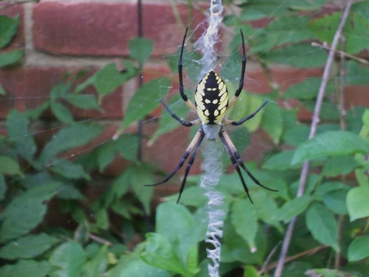 q anybody know what kind of spider this is
