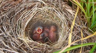 , this was sure a beautiful treat for me we ve since been blessed with 2 other nest in different locations