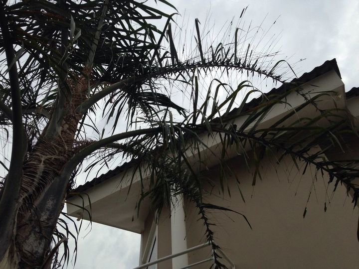 q how to eliminate the caterpillars from my palm tree