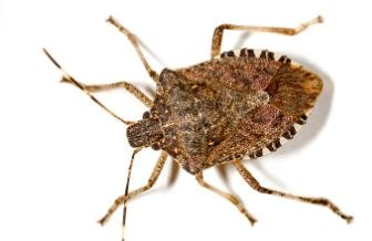 q how do i keep stink bugs out of the house