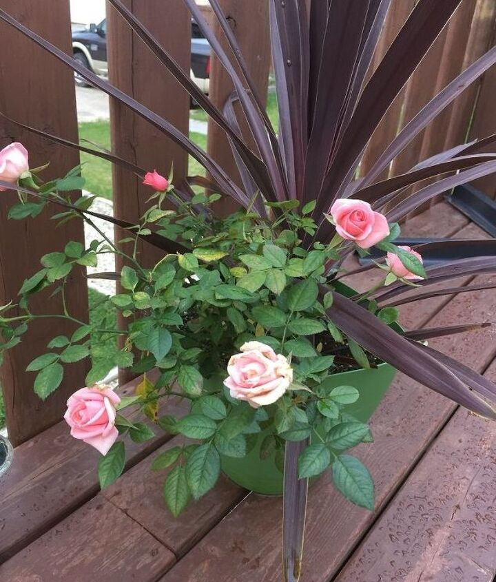 q how to care for potted rose thru winter