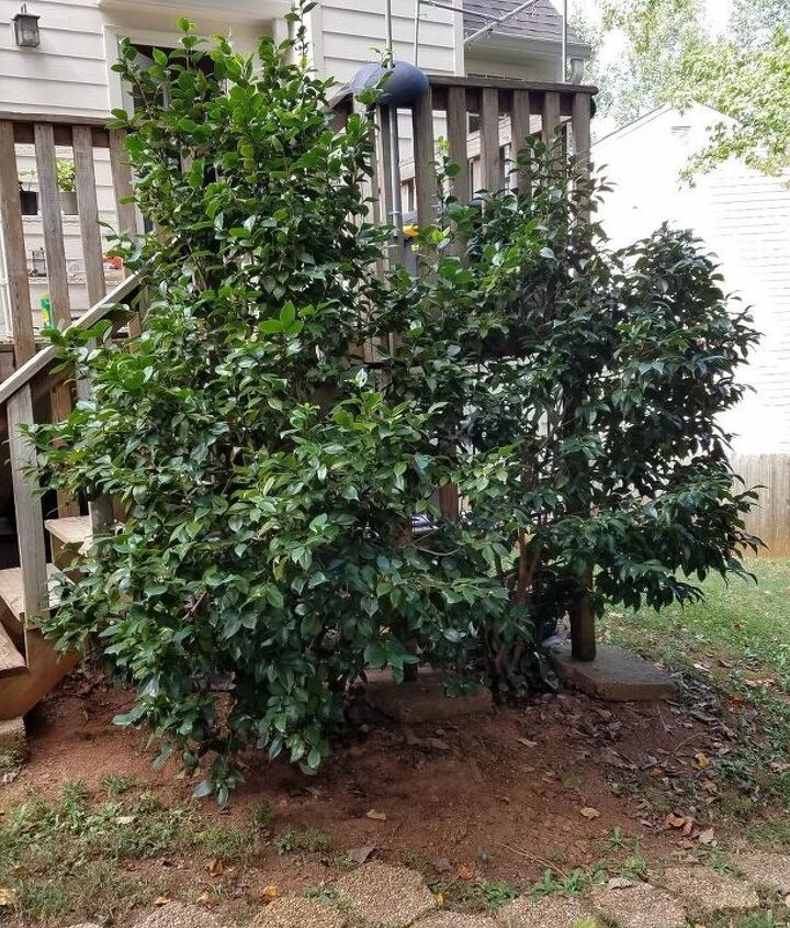 q how can i salvage 2 camillia bushes during deck expansion